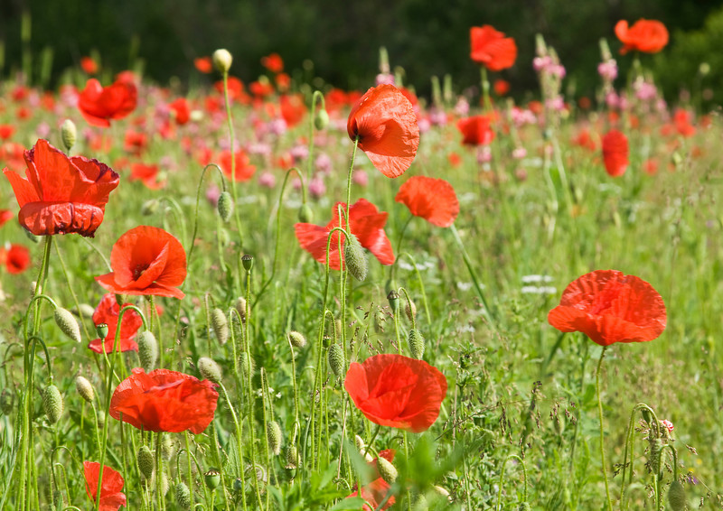 Field of Red Poppies in Umbria, Italy