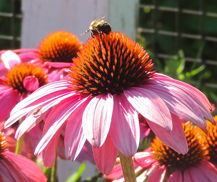 Bumblebee on Purple Cone Flower