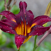 Day Lily Passion