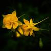 Yellow, Zilker Botanical Gardens