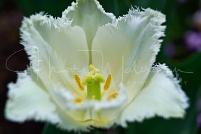 White Fancy Tulips