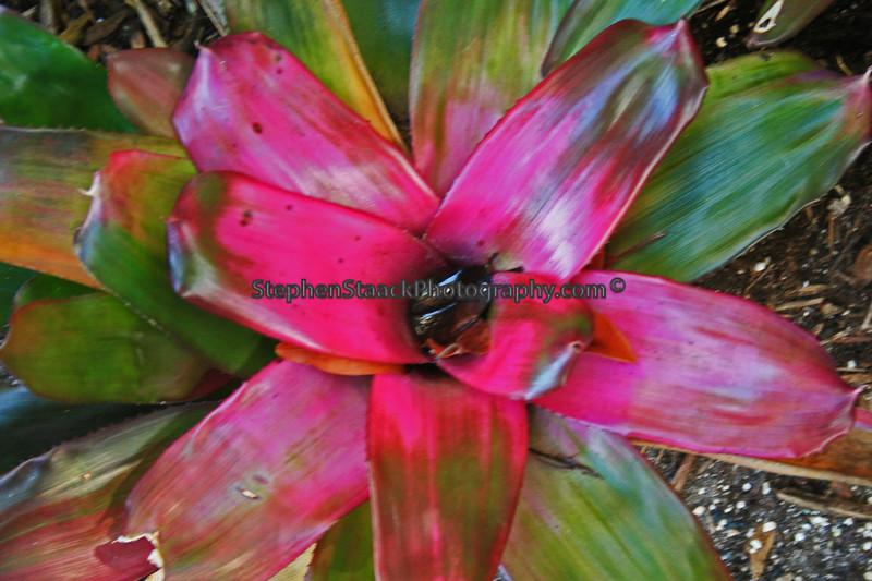 Bromeliad (Neoreglia hybrid concentrica)