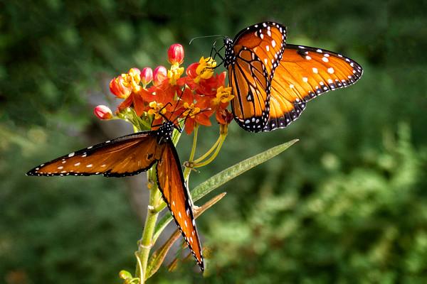Monarchs at Boyce Thompson Arboretum