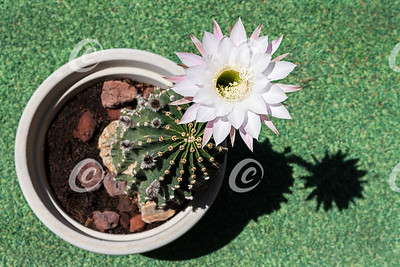 Single White Flower on an Ugly Potted Echinopsis Cactus