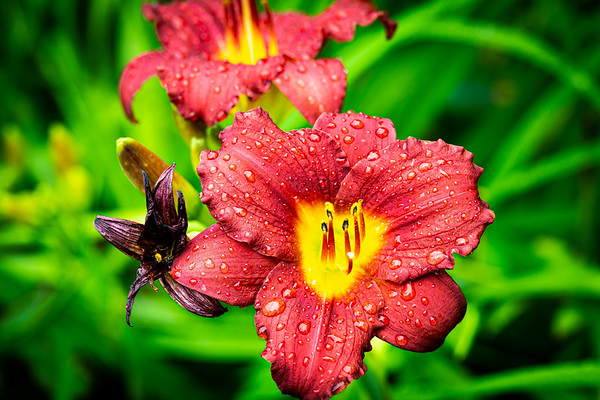 Daylily after the Rain
