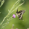 Giant Swallowtail Butterfly on Milk Thistle