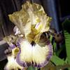 Lemon & Lavender Bearded Iris