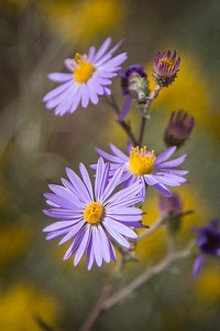 Tansy Aster, Rehoboth, NM