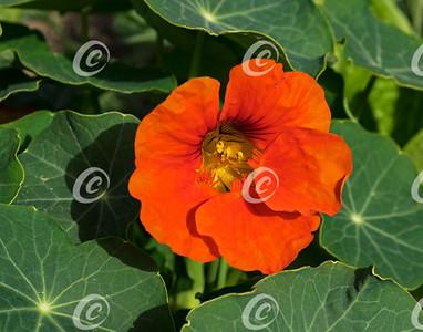 Intense Orange Nasturtium Flower