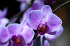 Pink veined moth orchid