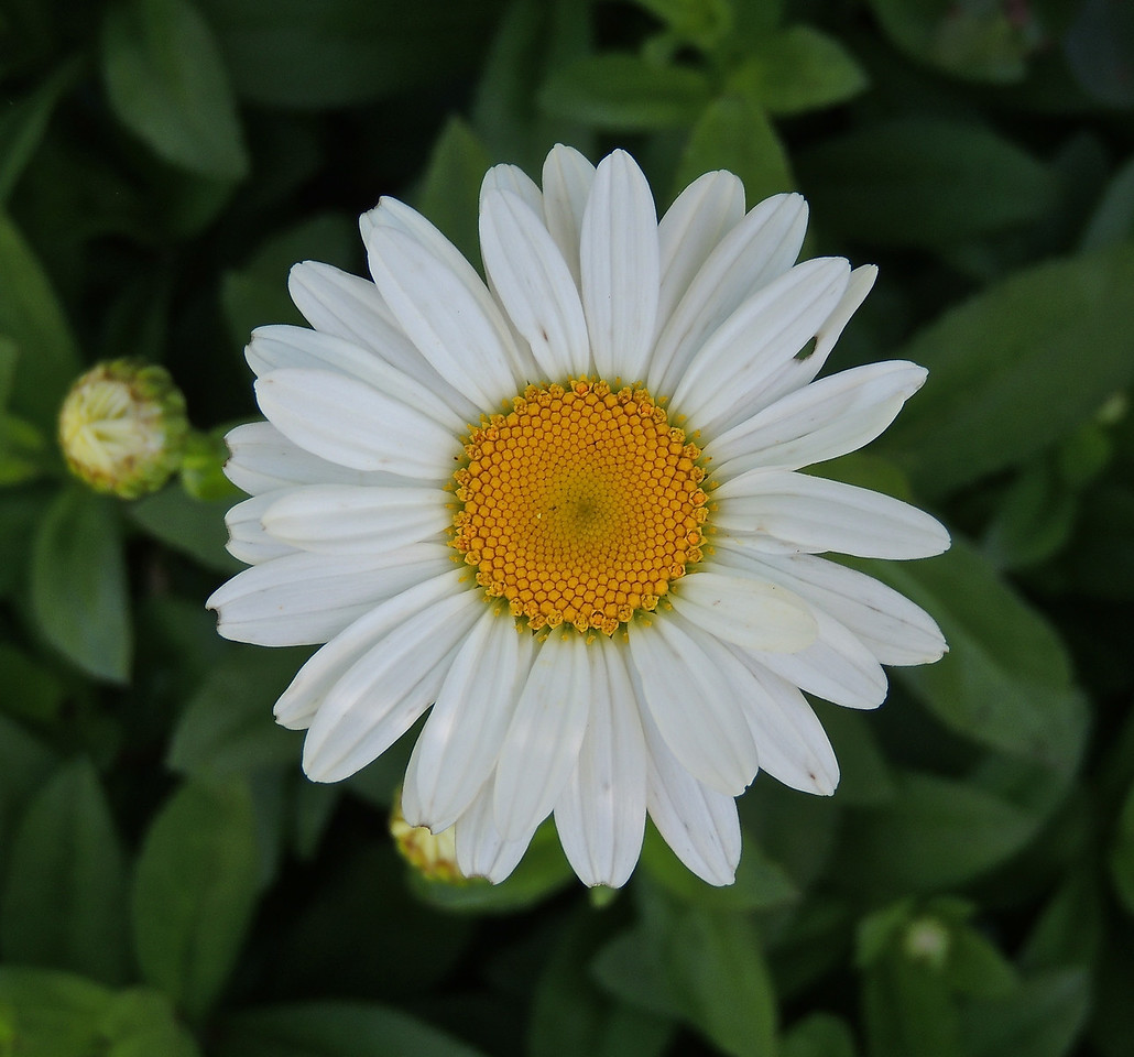 Chrysanthemum Becky