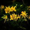 Yellow #2, Zilker Botanical Gardens