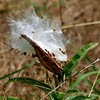 Antelope Horns Milkweed Seed Pod