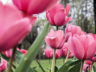 pink tulips2-2240