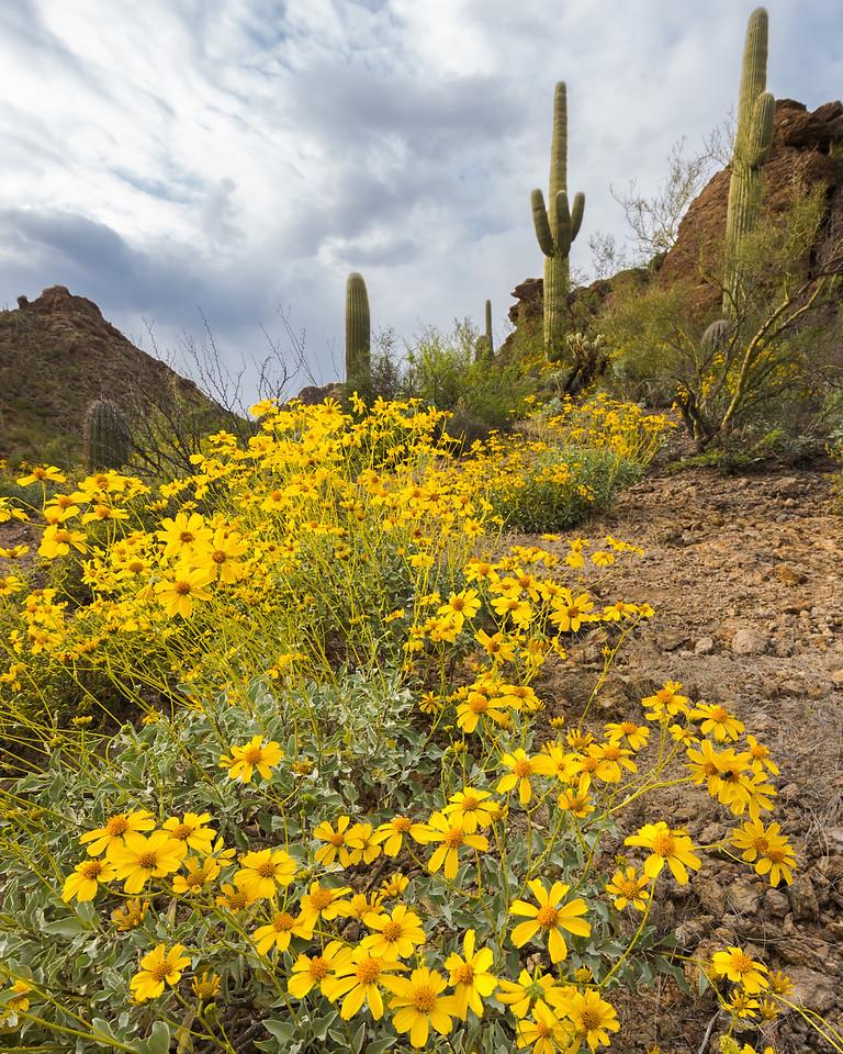 Brittlebush Flowers with Saguaros