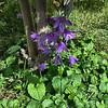 Campanulaceae - <br /> Campanula Bells - Bellfowers