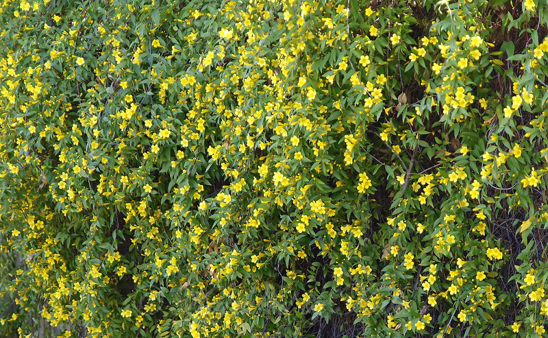 Carolina Jasmine Close Up