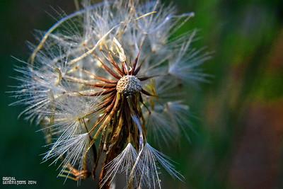 Dandelion's  End of life
