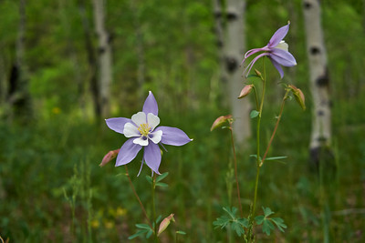 Colorado Columbines 4