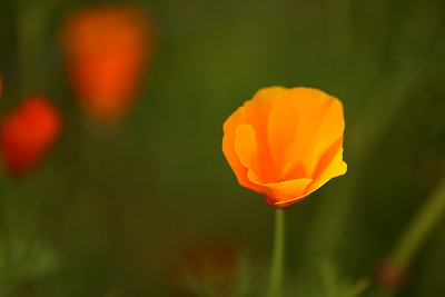 California Poppy, Orcas Island, Washington