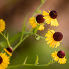 Purple-Head Sneezeweed