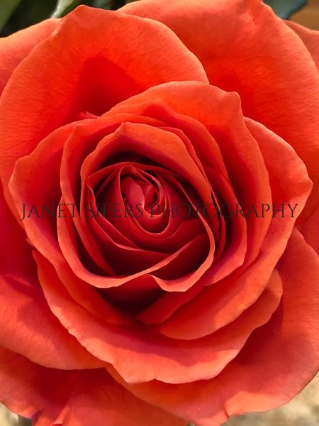 Valentine's Rose