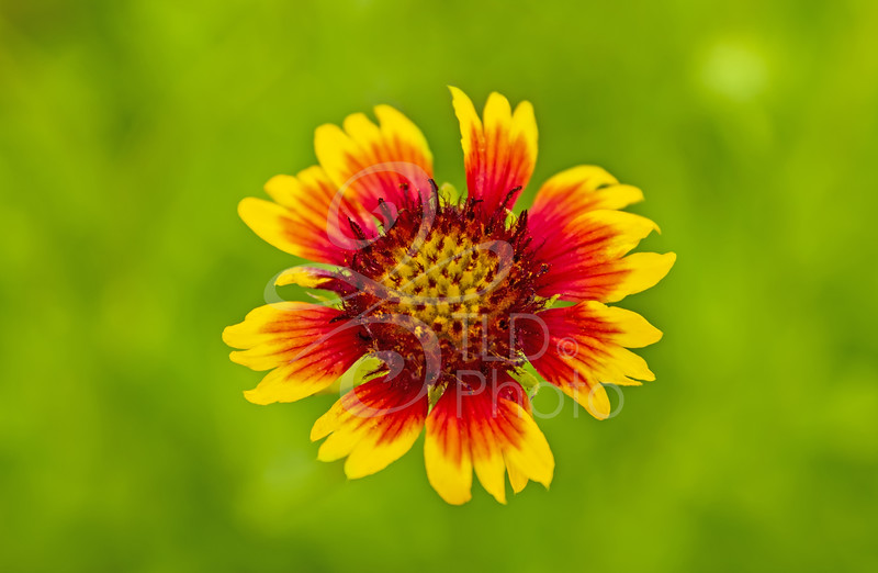 TLD_Sunny Flower