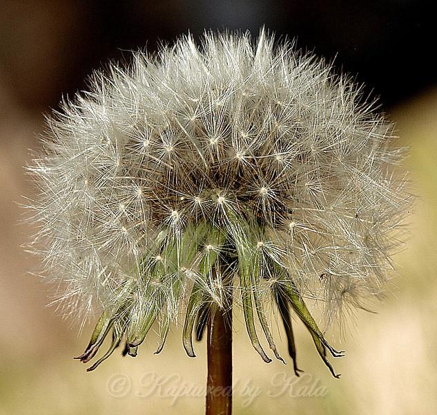The beautiful geometry of the mature dandelion