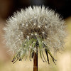 The beautiful geometry of the mature dandelion