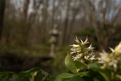 Buxaceae -  Pachysandra