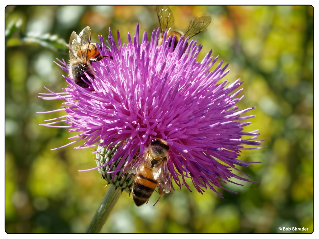 Three Bees on a Thistle