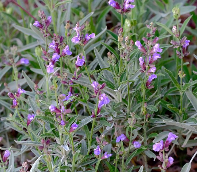Salvia officinalis