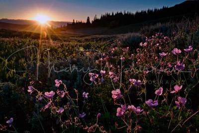 Stick Geraniums at Sunset