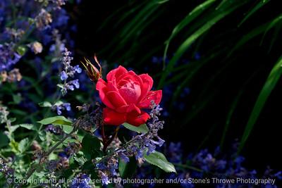 flower_rose-wdsm-25may15-18x12-203-3463