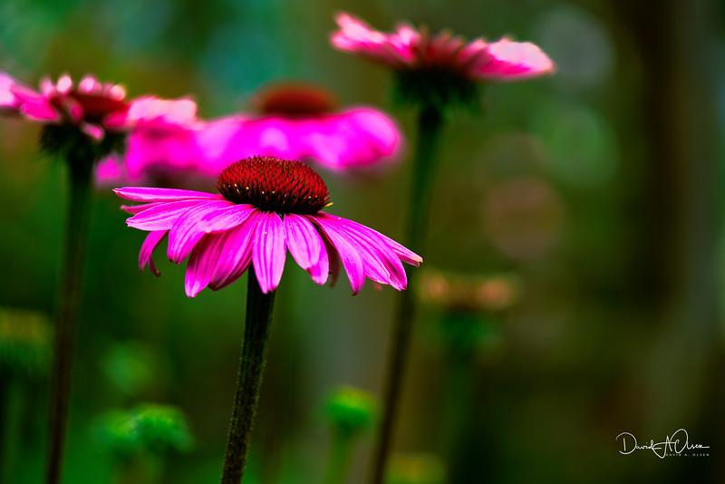 Pink Euchs
