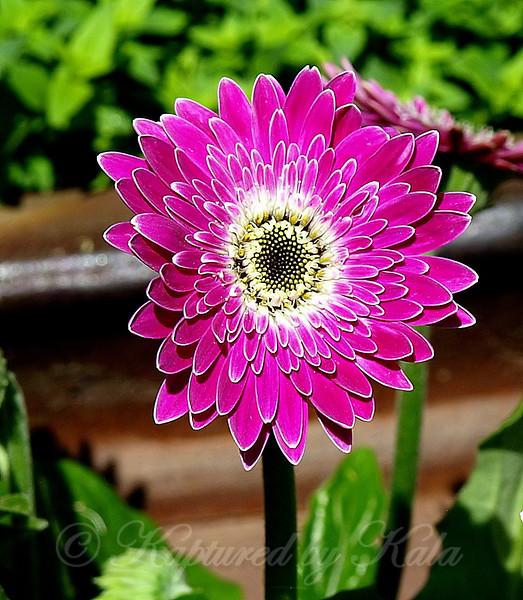 Hot Pink Daisy