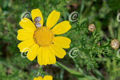 Crown Daisy and Two Snails in the Ruhama Forest in Israel