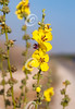 Scallop-Leaved Mullein
