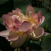 Water Lotus 3946
