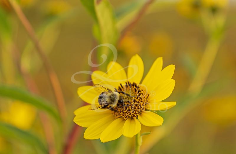 TLD_Bumblebee_Yellow Flower macro