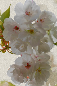 Delicate, fragrant and joyful...Cherry blossoms in April.  I look forward to their arrive all year long! :)