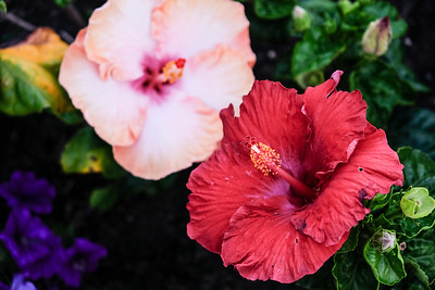 Hibiscus in summer