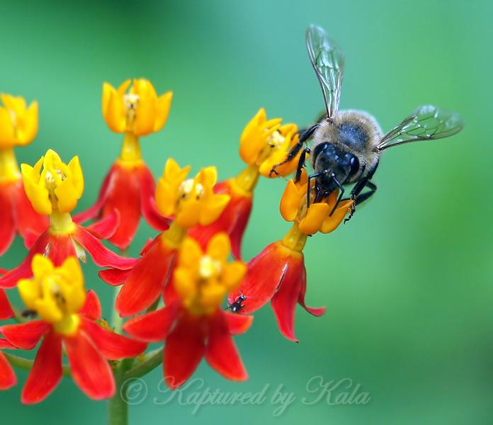 Honey Bee, Milkweed, And A Tiny Ant