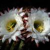 Double Barrel Bloom