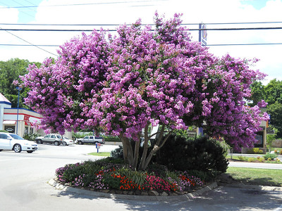The Crepe Myrtle at Shoney's