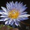 Purple Water Lilly Picture