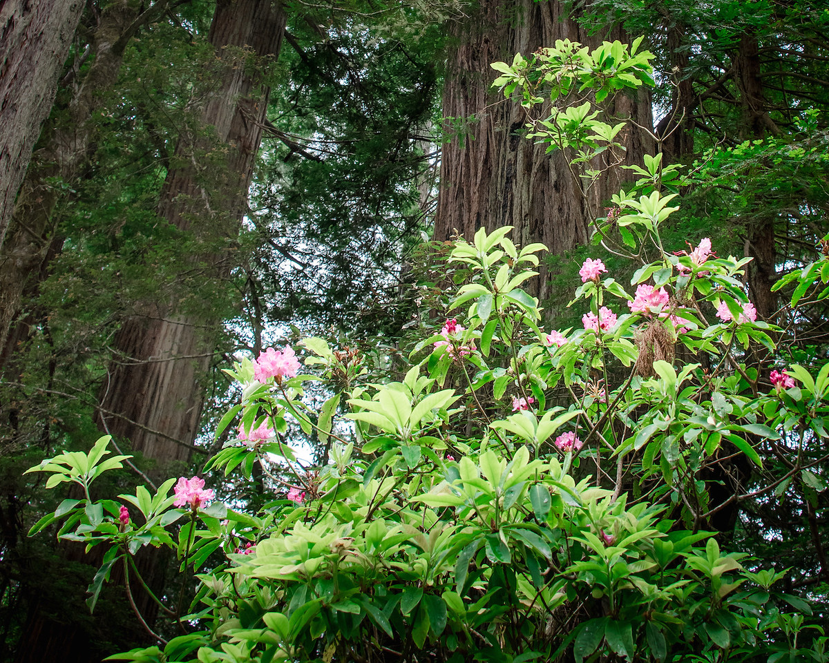 Rhododendron Blossoms with Redwoods