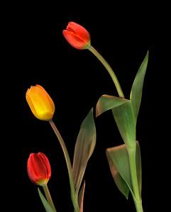 Tulips, Study #6