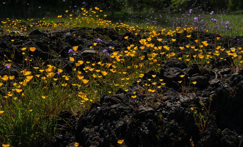 Black Rock Poppies 8965