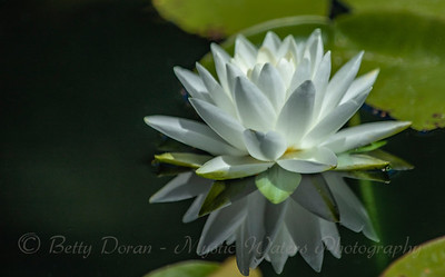 Reflecting on a Water Lily